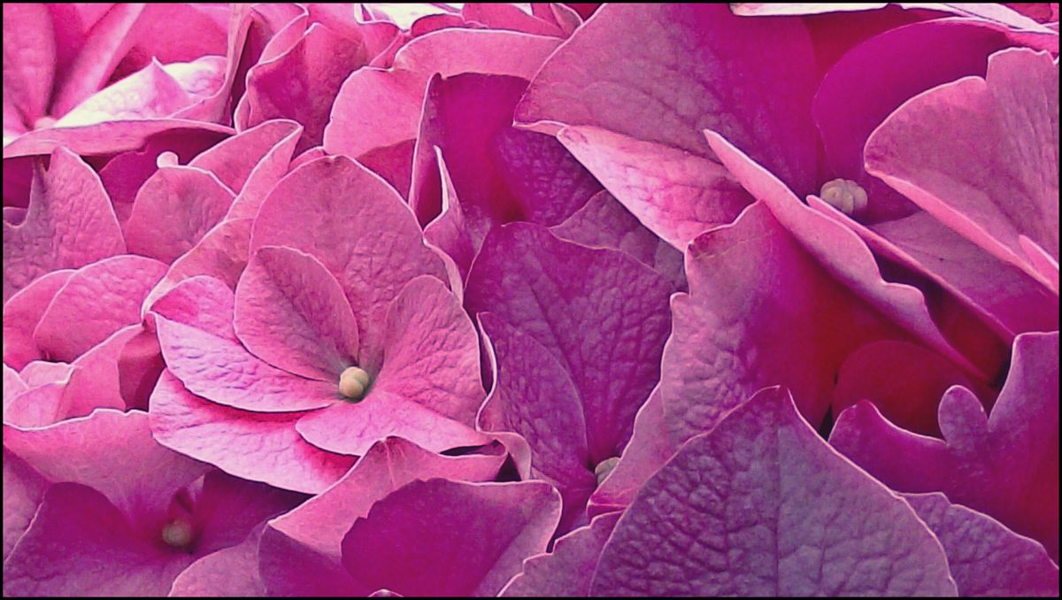 how to close up a hydrangea