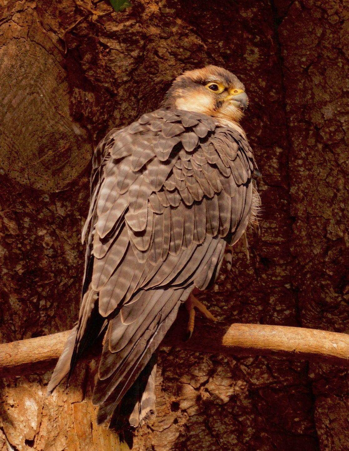 Ruffled feathers - Sony Ruffled Feathers