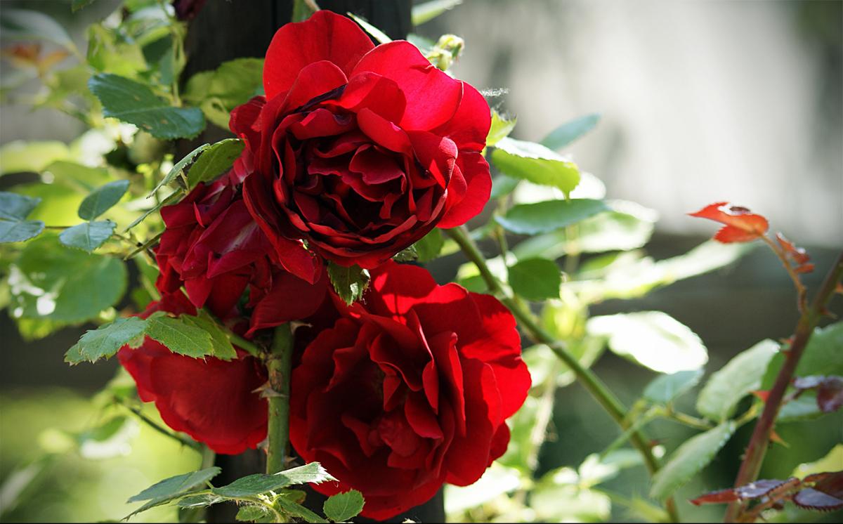 rote rosen sony